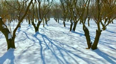 雪后,一棵古栗树的美丽
